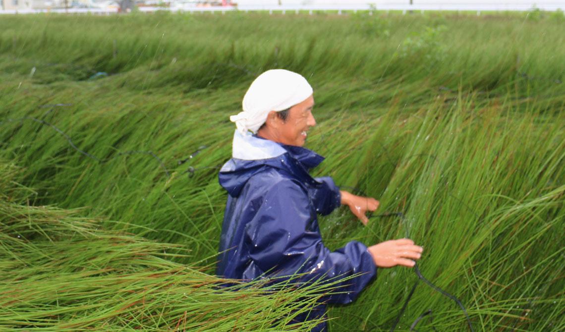 い草の収穫風景
